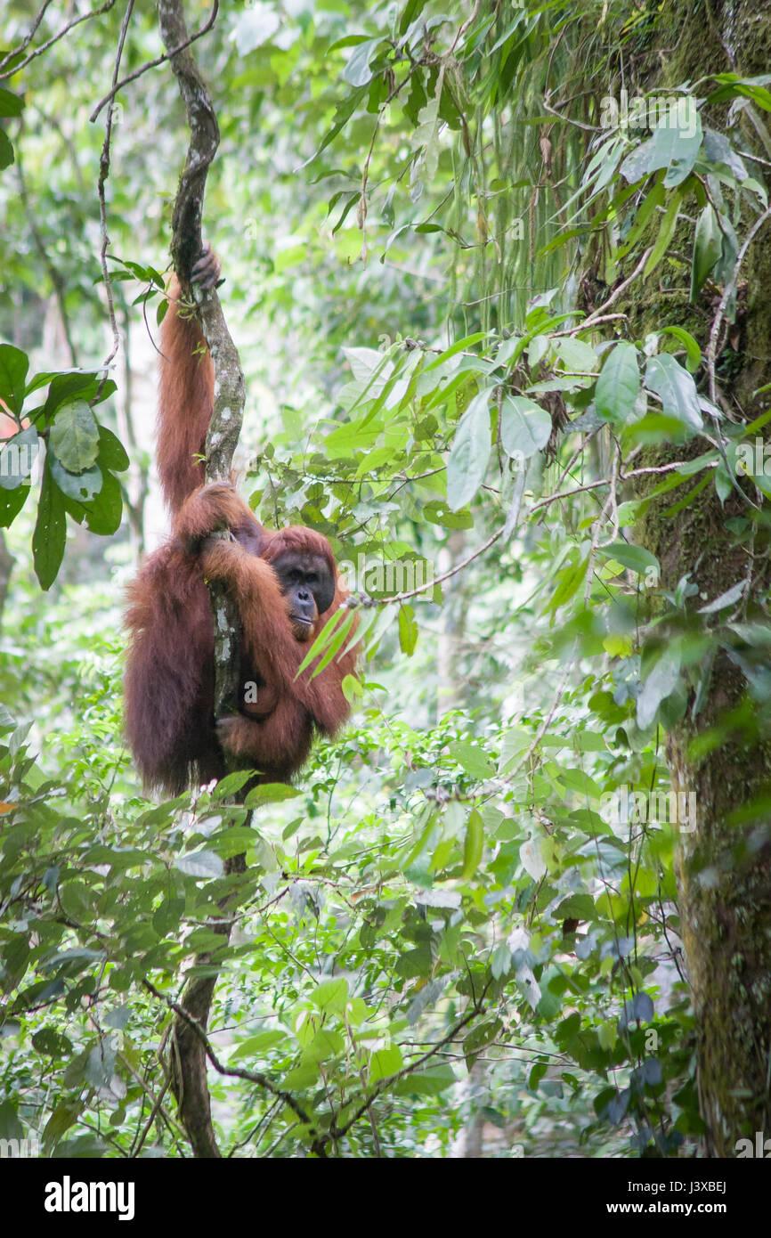 Critically endangered Sumatran orangutan (Pongo abelii) climbing on a vine in the wild. Gunung Leuser National Park. Stock Photo