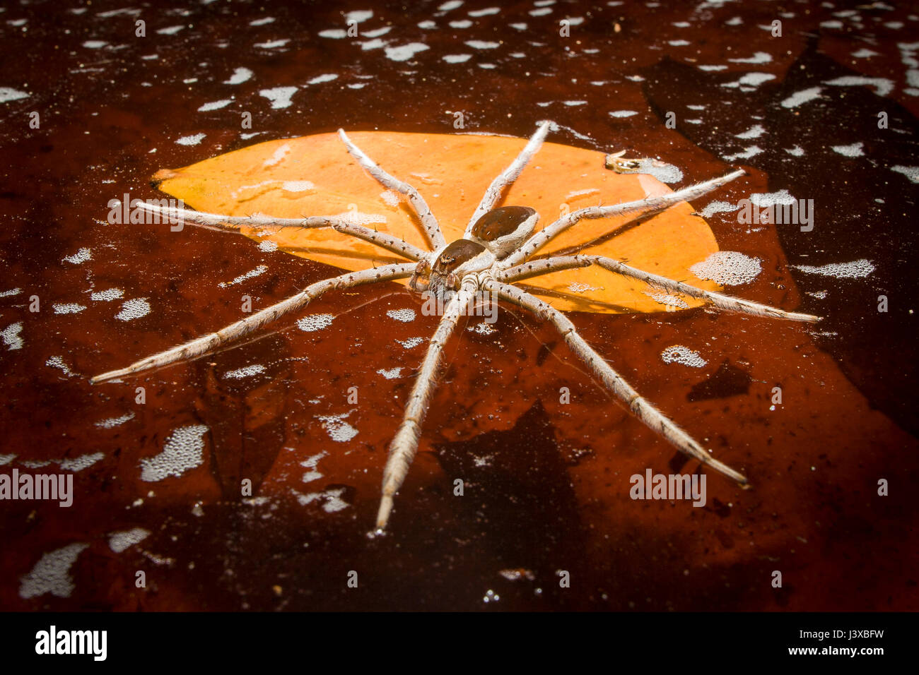 A large fishing spider (family Pisauridae) floats on the water's surface awaiting prey. The water is stained red Stock Photo