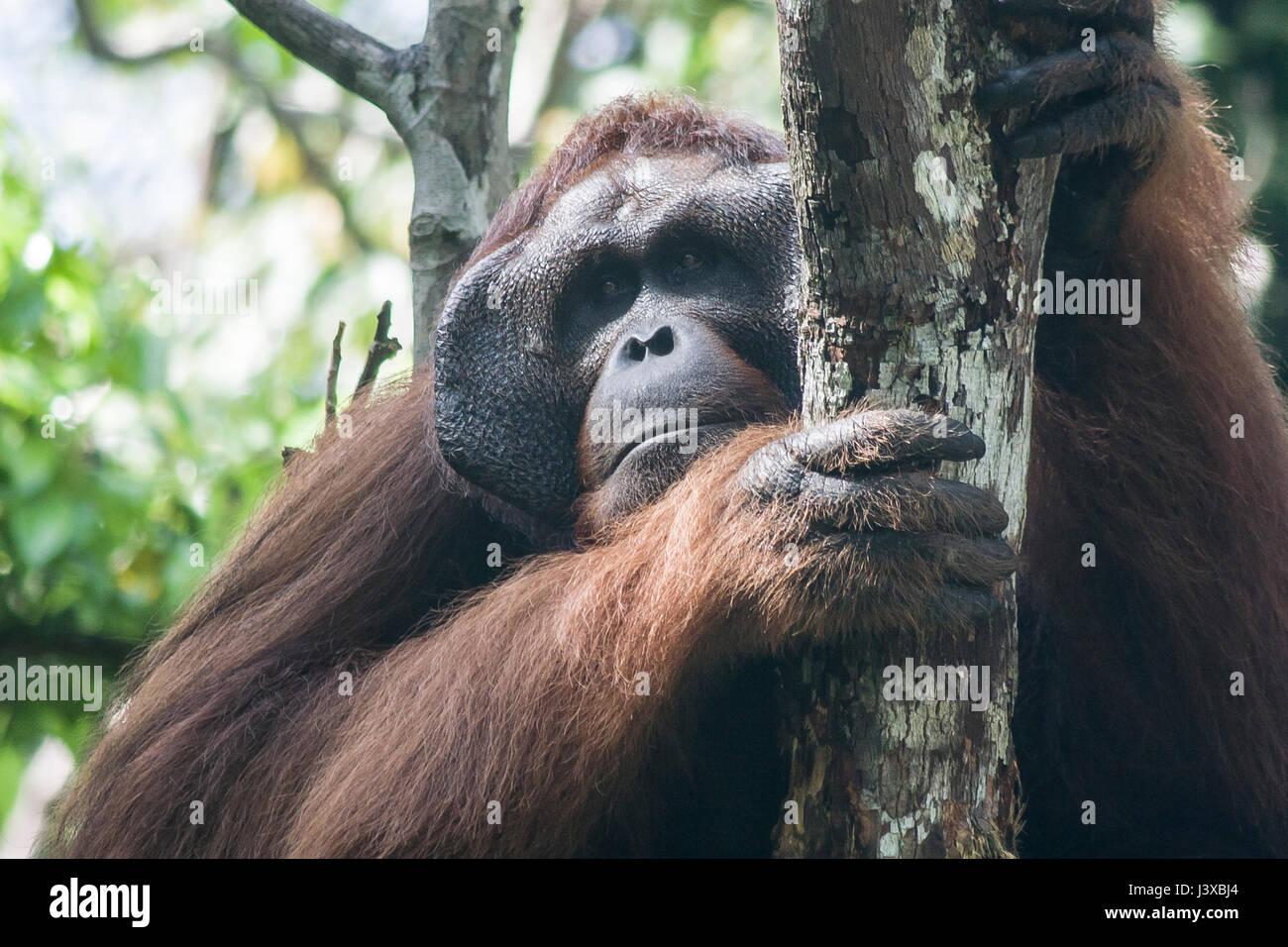 Critically endangered Bornean orangutan (Pongo pygmaeus). Mature males have the characteristic cheek pads. - Stock Image