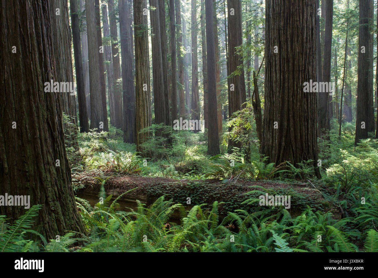 Immense old-growth California Redwoods in Redwood National Park, California, USA. - Stock Image