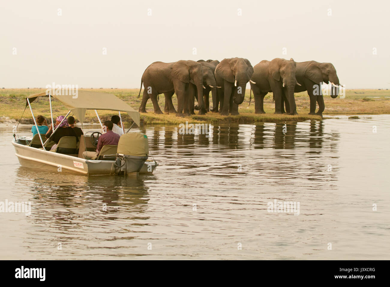 African Elephant herd huddled together, waiting to cross the Chobe River, Chobe National Park, Botswana, Africa. - Stock Image
