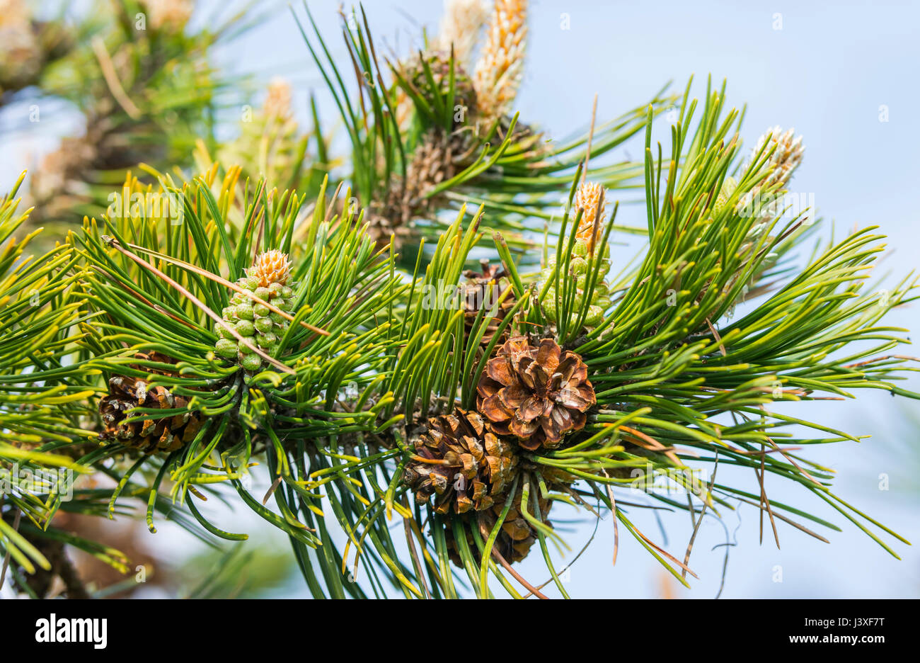 Closeup of pine cones of a branch of a Pine tree. - Stock Image