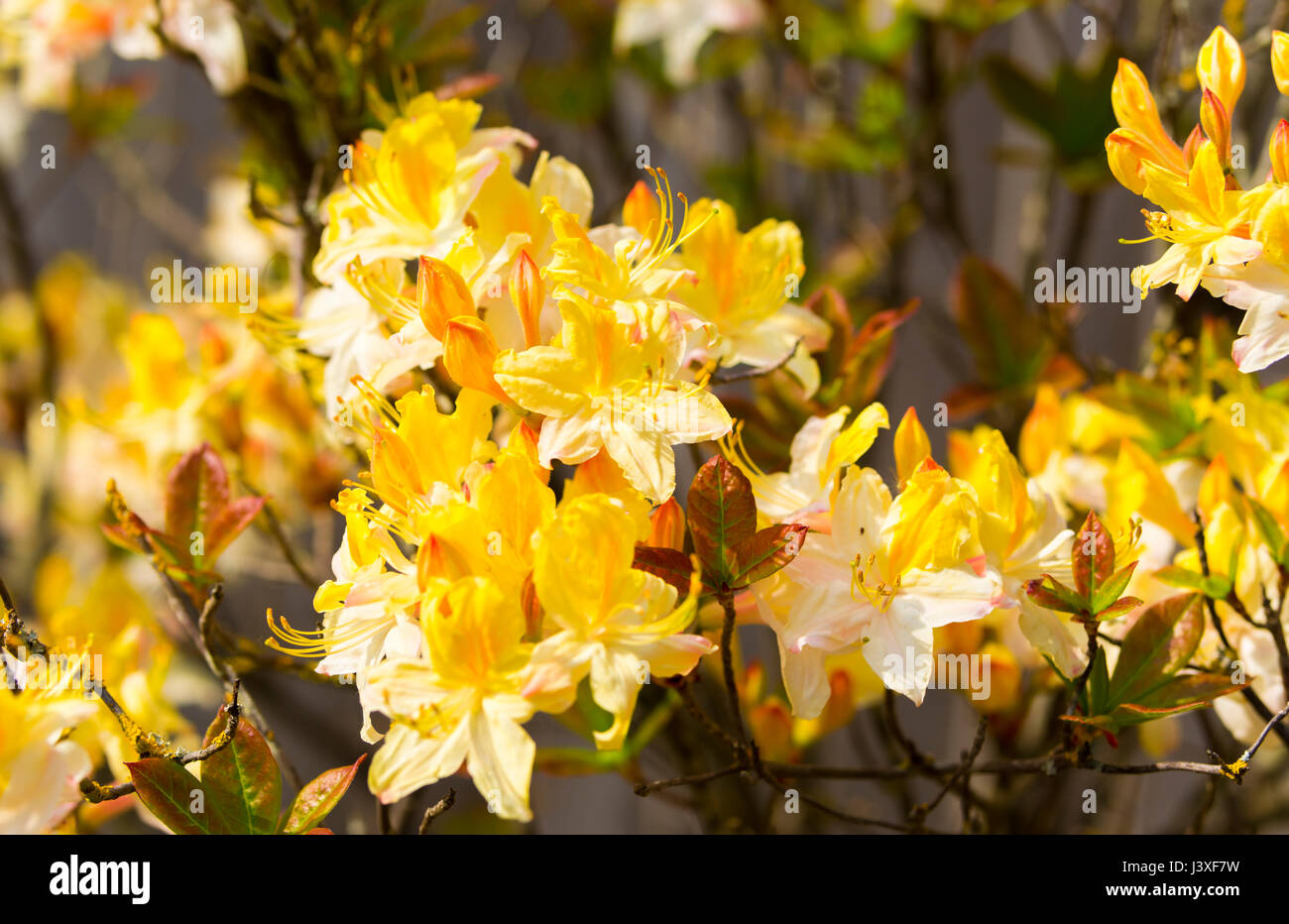 Yellow Flowering Shrub Stock Photos Yellow Flowering Shrub Stock