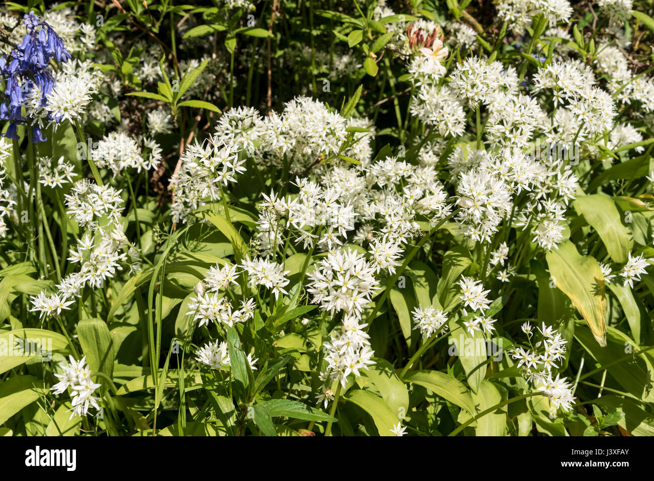 Wild garlic plant flowers - Stock Image