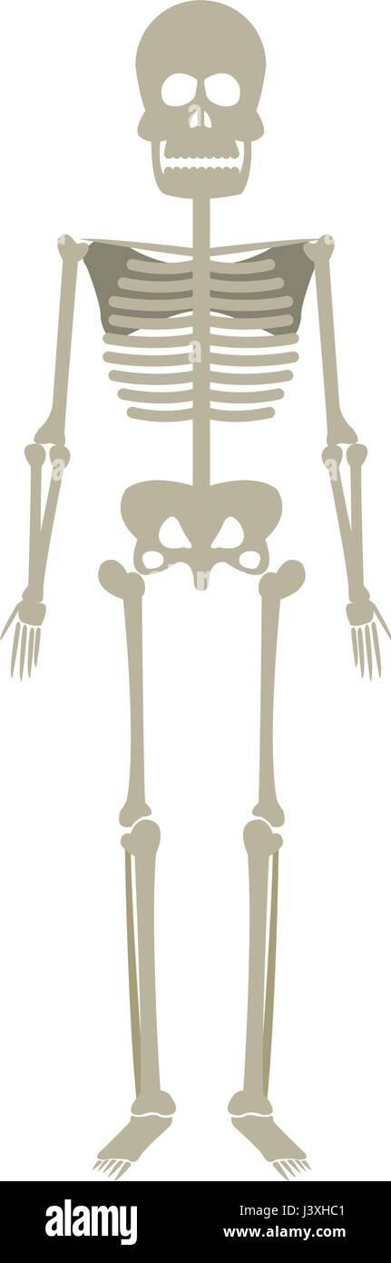 skeleton human anatomy skull bone medical science - Stock Image