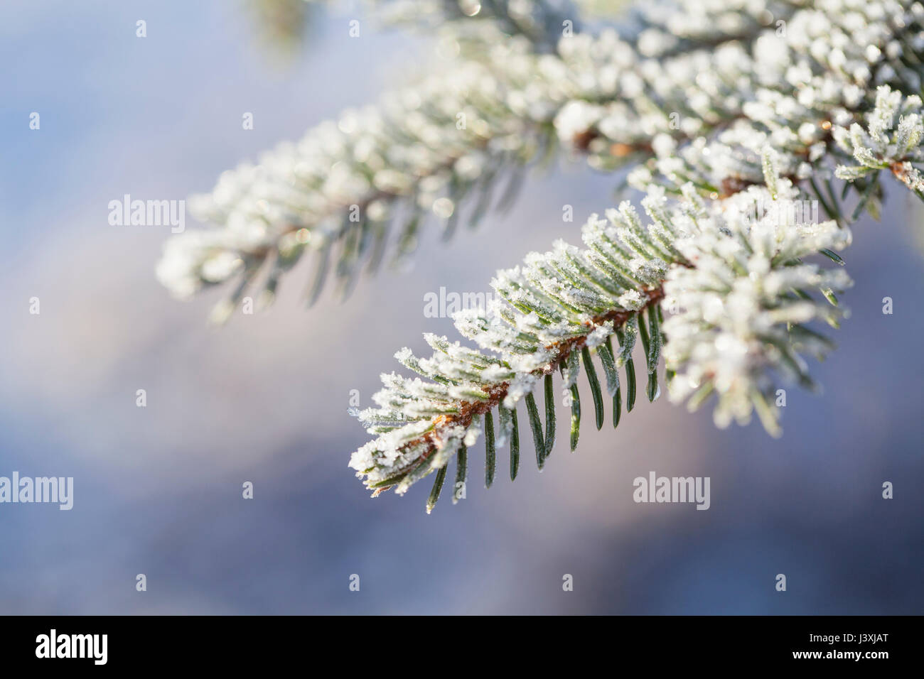 Close up of frost on branch and needles of Norway Spruce (Picea abies) - Stock Image