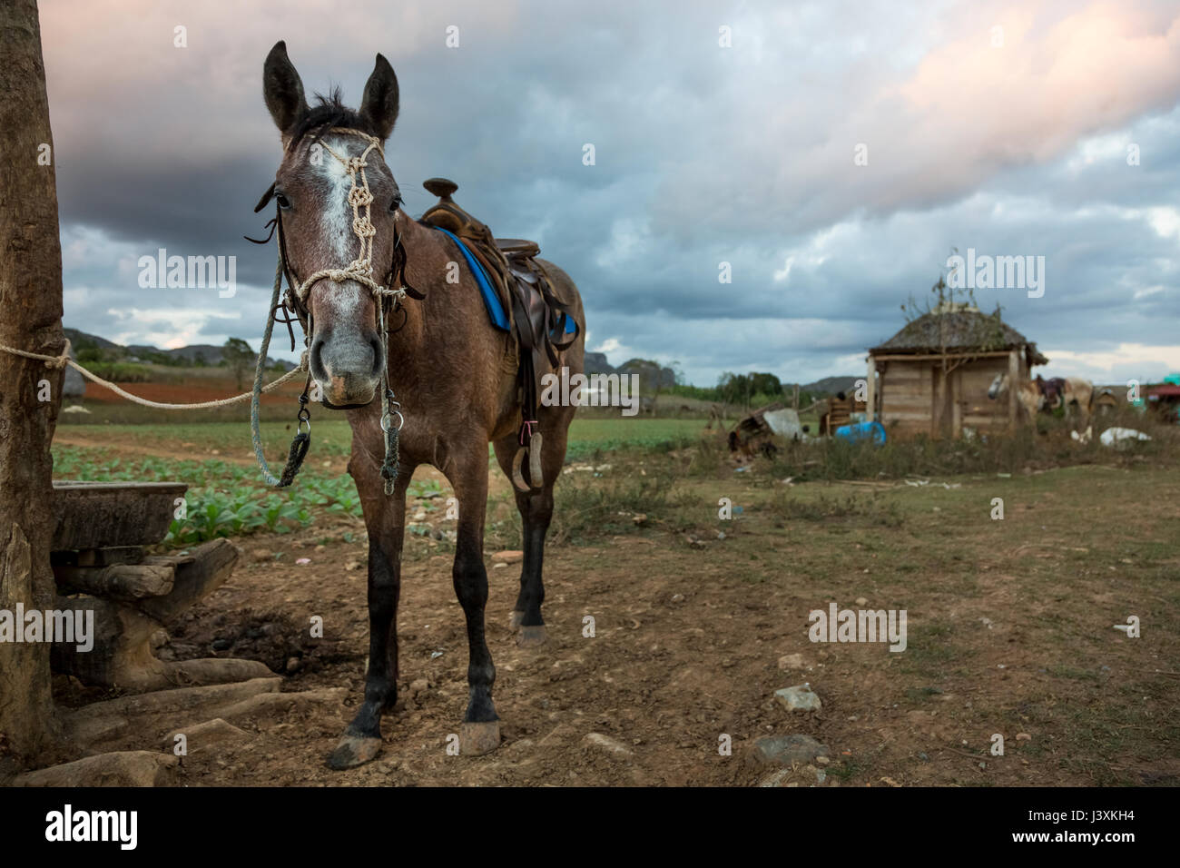 Horse tied to field fence post, Vinales, Cuba - Stock Image