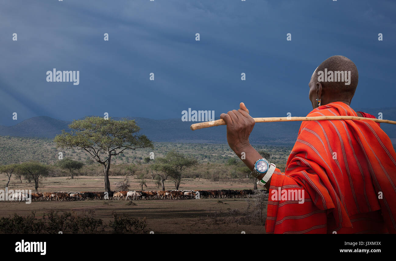 Masai shepherd watching his cows, Masai Mara National Reserve, Kenya - Stock Image