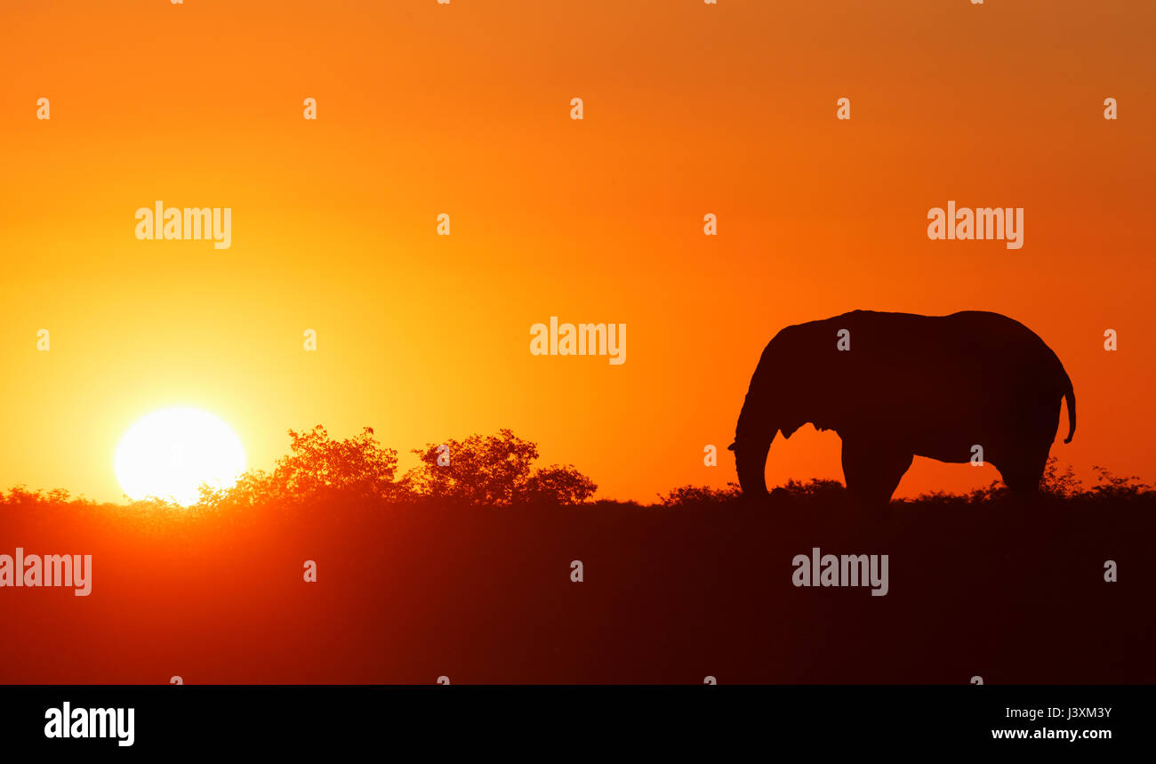 Lone elephant at sunset, Masai Mara National Reserve, Kenya - Stock Image