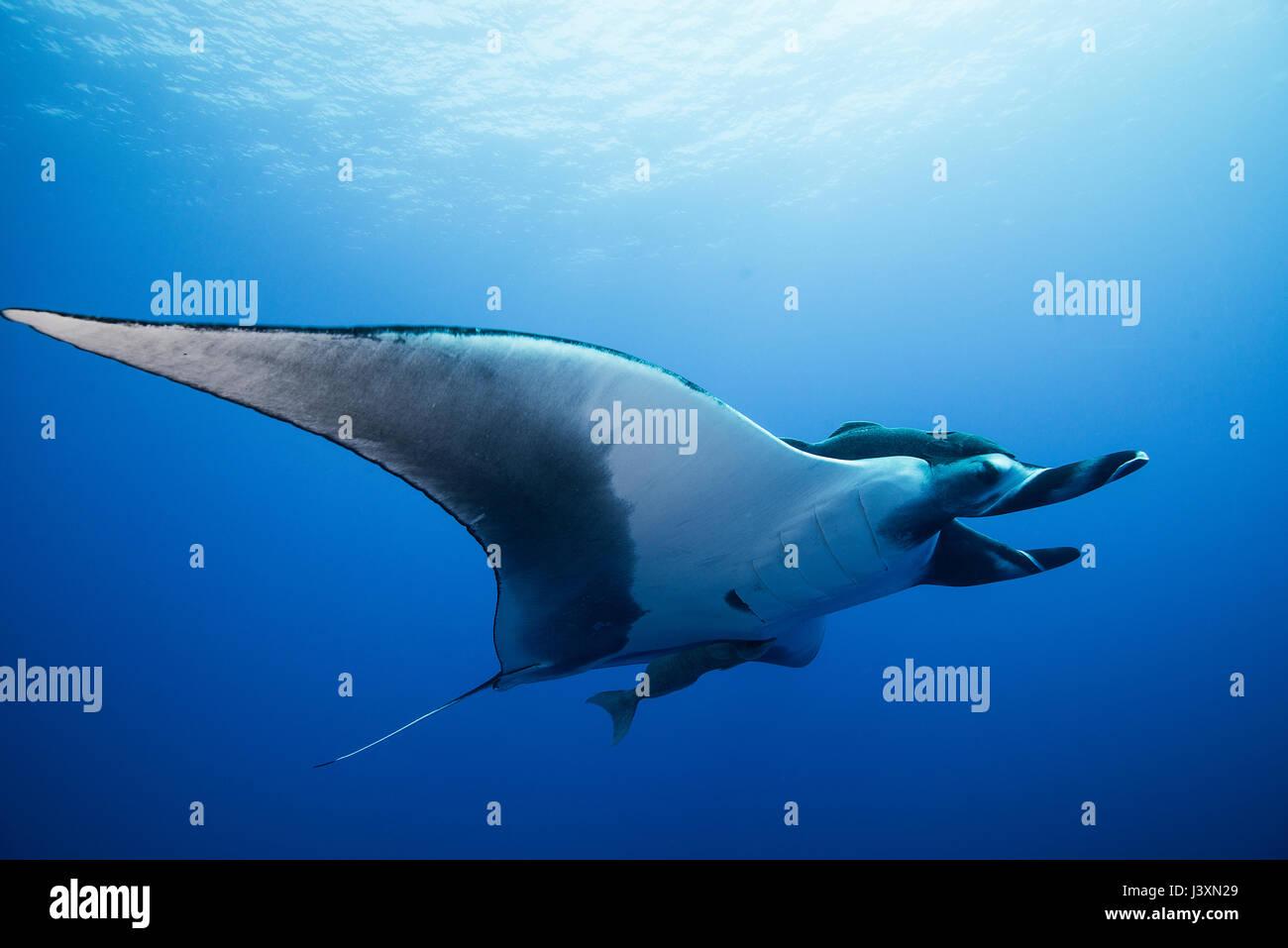 Giant Manta Ray (Manta birostris), underwater view,  Roca Partida, Colima, Mexico Stock Photo