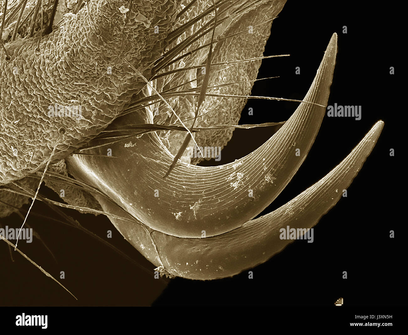 Tarsal claws of a dobsonfly (Megaloptera: Corydalidae) imaged in a scanning electron microscope - Stock Image