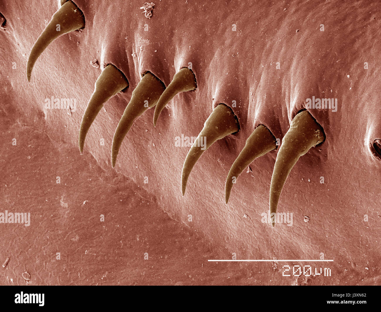 Stout spines on the gill rakers of a crayfish (Crustacea: Decapoda) imaged in a scanning electron microscope - Stock Image