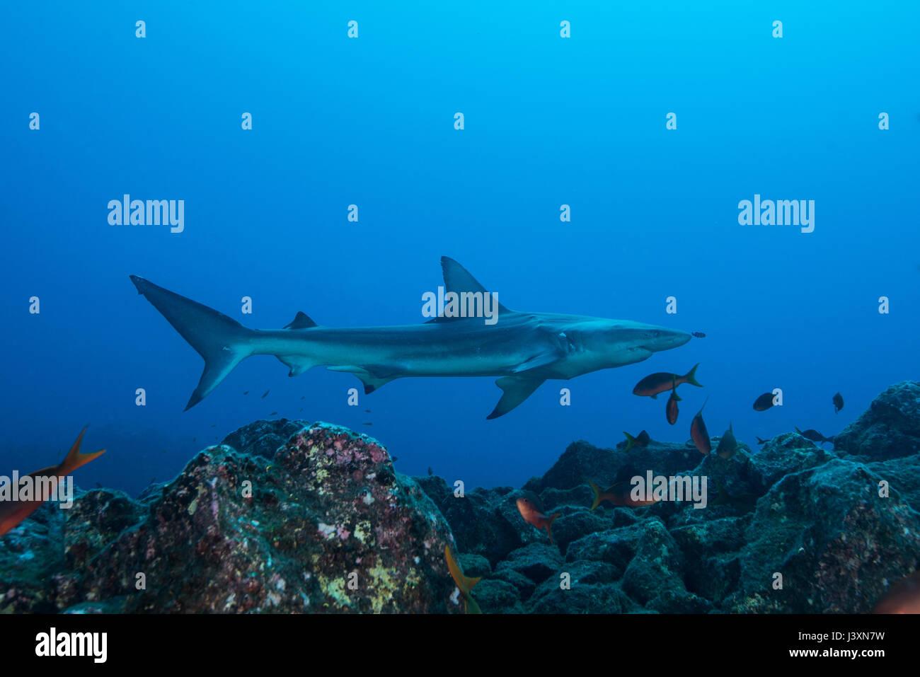 Rare sighting of a sick Blacktip Shark (Carcharhinus limbatus), San Benedicto, Colima, Mexico - Stock Image