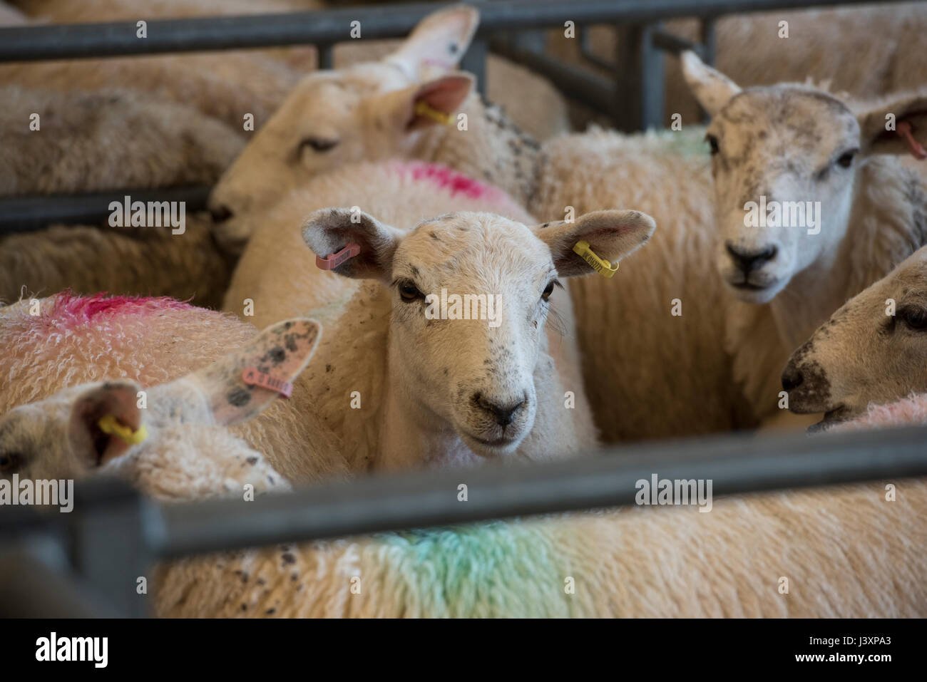 Lambs in pens at Bakewell livestock market, Bakewell, Derbyshire. - Stock Image