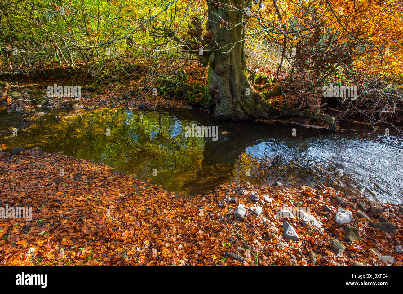Autumn, Chipping Brook, Chipping, Preston, Lancashire. - Stock Image