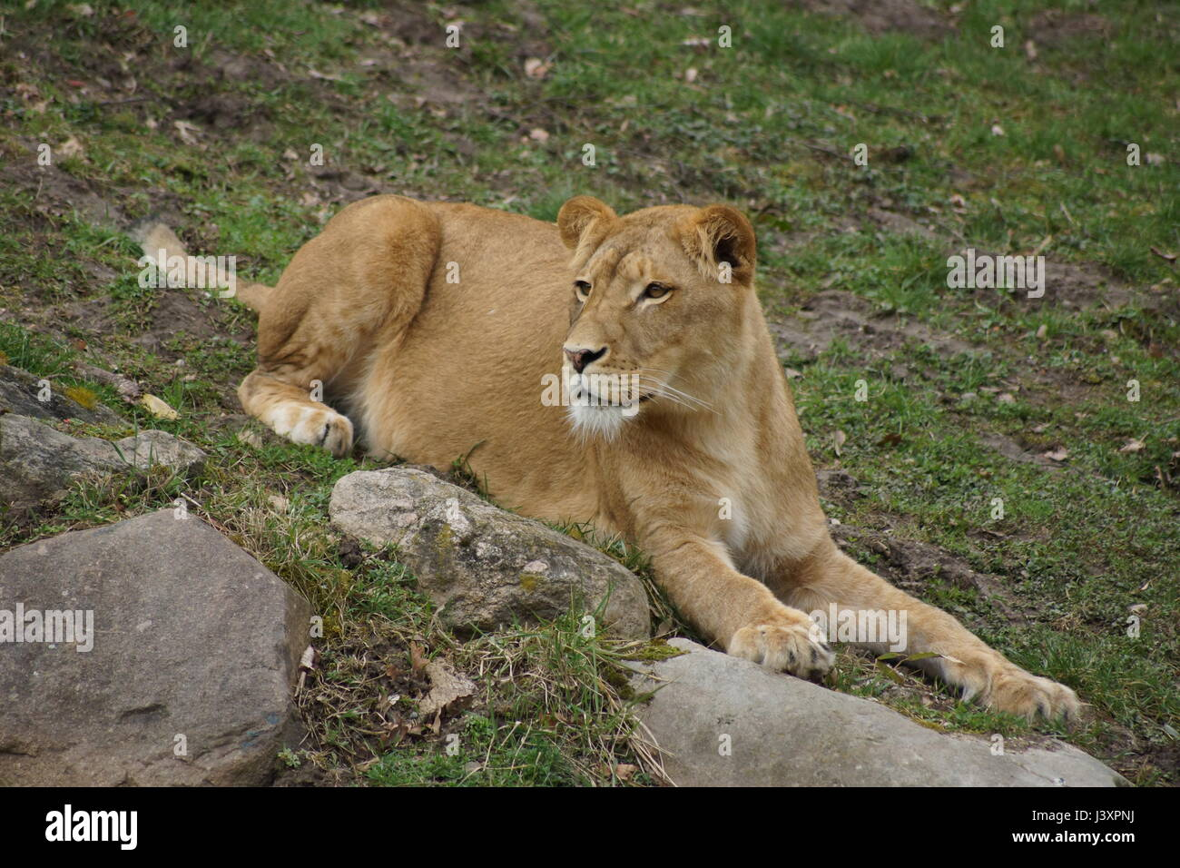 Wild lion in the zoo Stock Photo