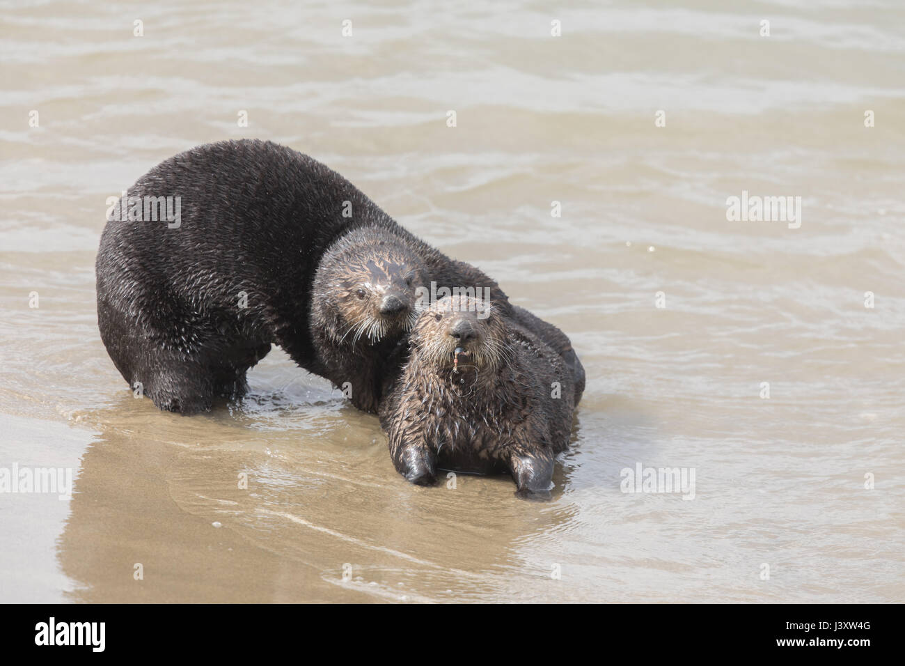 Playful Sea Otters Stock Photo