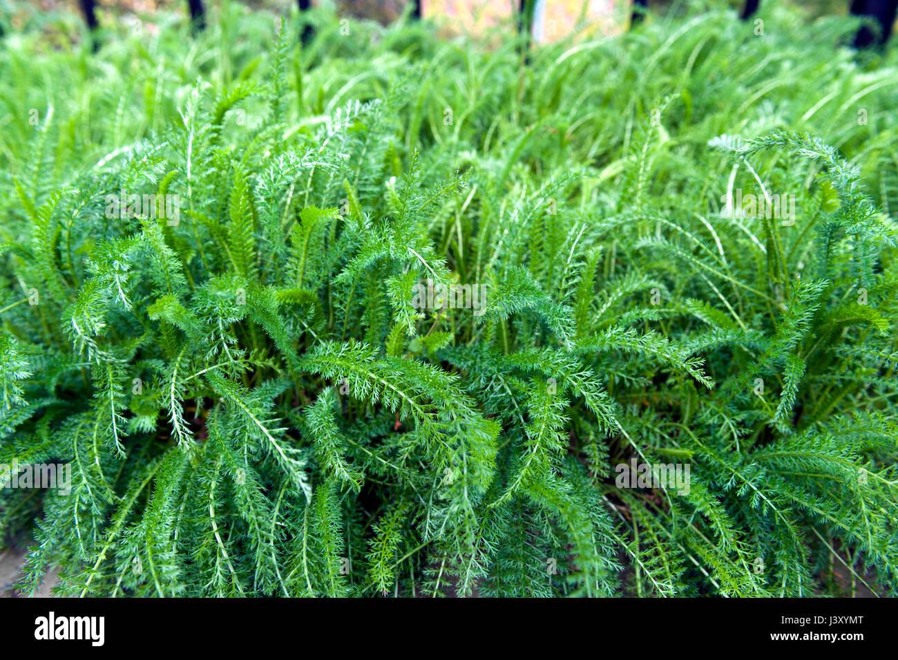 Lush leaves of Common Yarrow (Achillea millefolium) grow in herbal garden - Stock Image