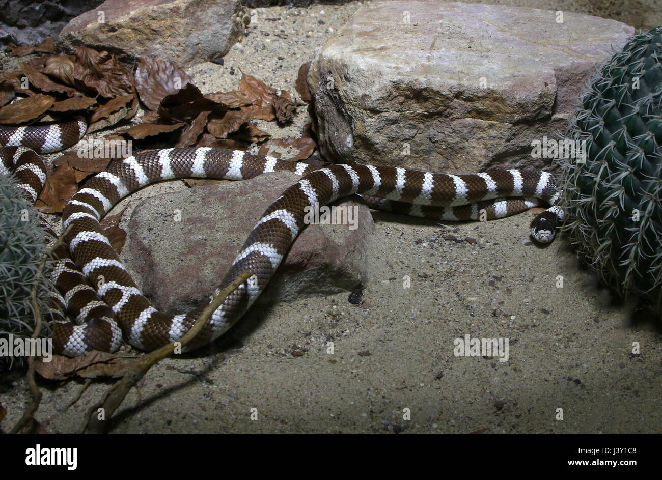 Black and white California Kingsnake (Lampropeltis Californiae, Lampropeltis getula californiae) in closeup - Stock Image