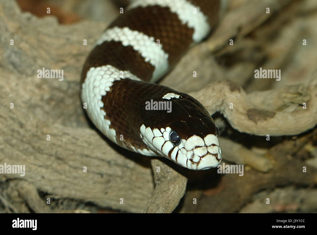 Black and white California Kingsnake ( Lampropeltis Californiae, Lampropeltis getula californiae) in closeup - Stock Image
