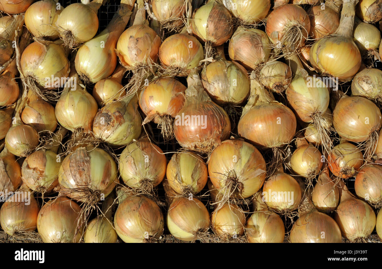 Onions, allium cepa variety Sturon, drying in sunshine before storing. - Stock Image