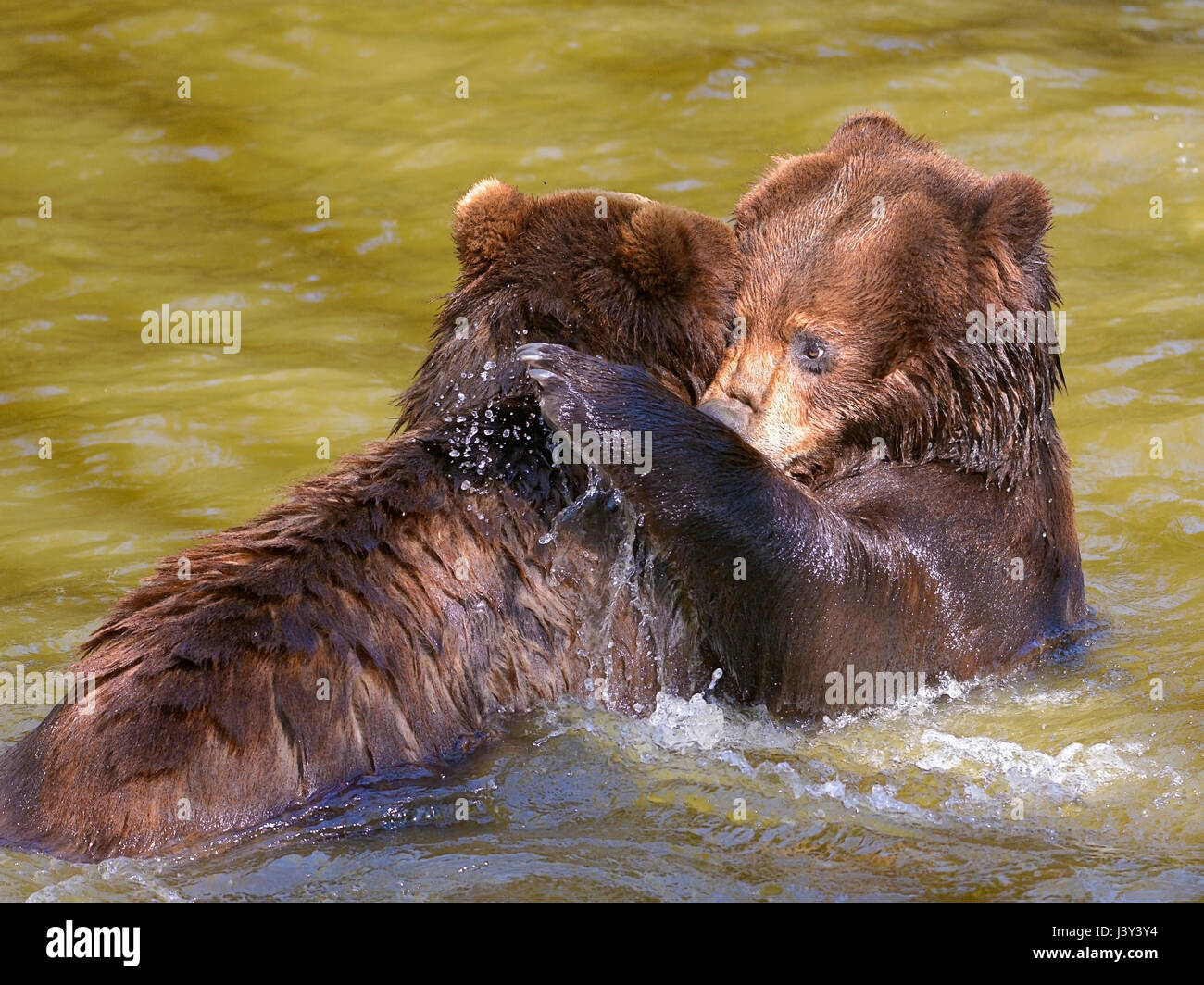 Two grizzlies (Ursus arctos horribilis) playing in the water - Stock Image