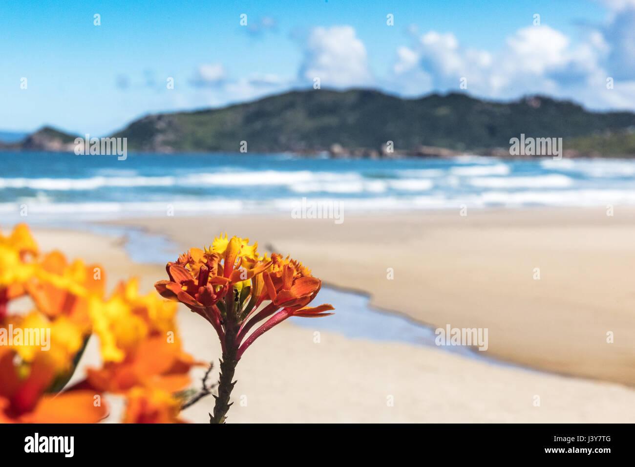 Close up of orange flowers by beach, Florianopolis, Santa Catarina, Brazil - Stock Image