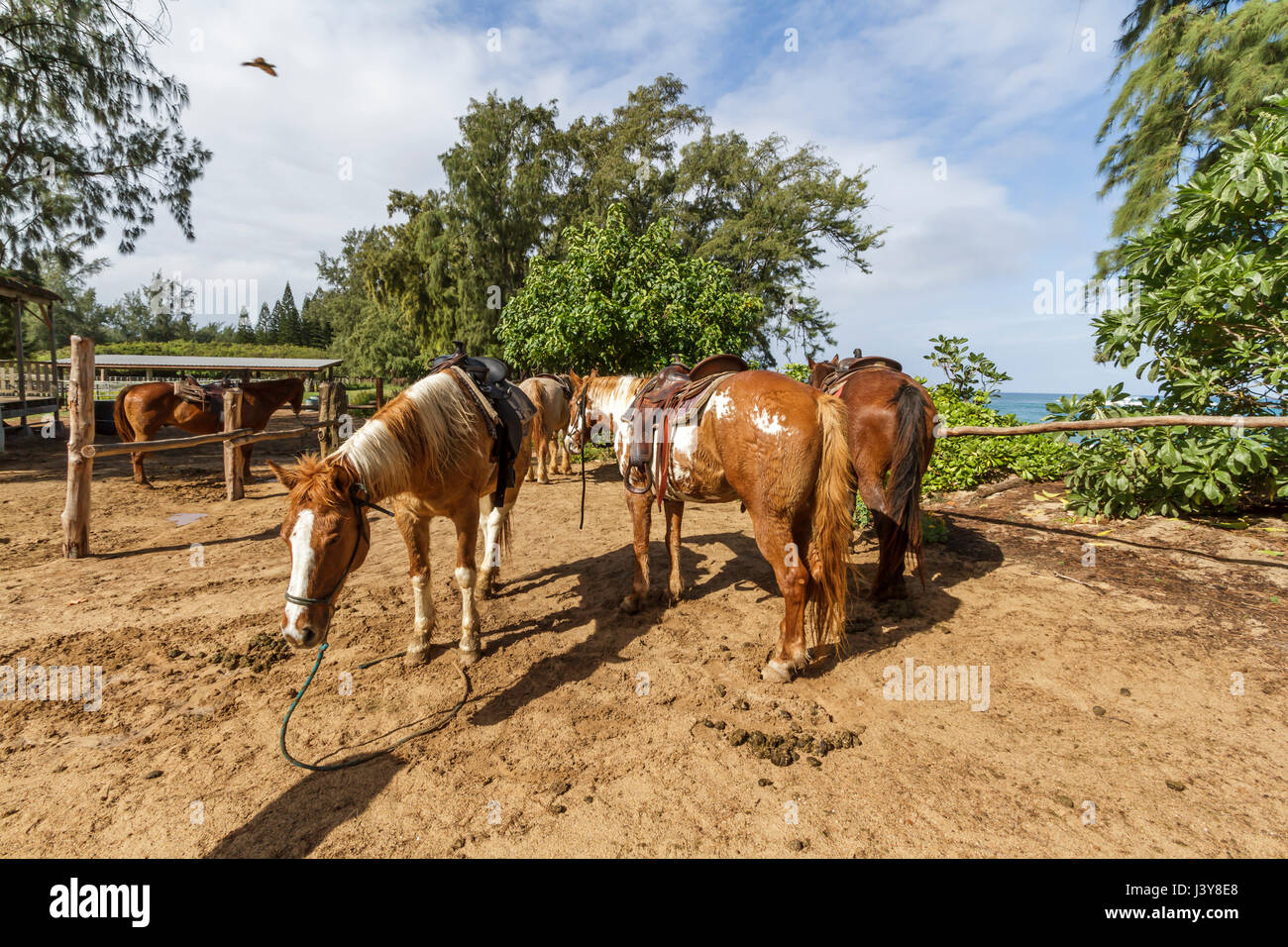 Kahuku Hawaii, Nov, 17 2015: Horses wait to take tourists for a ride at the Turtle Bay Resort stables on the north - Stock Image