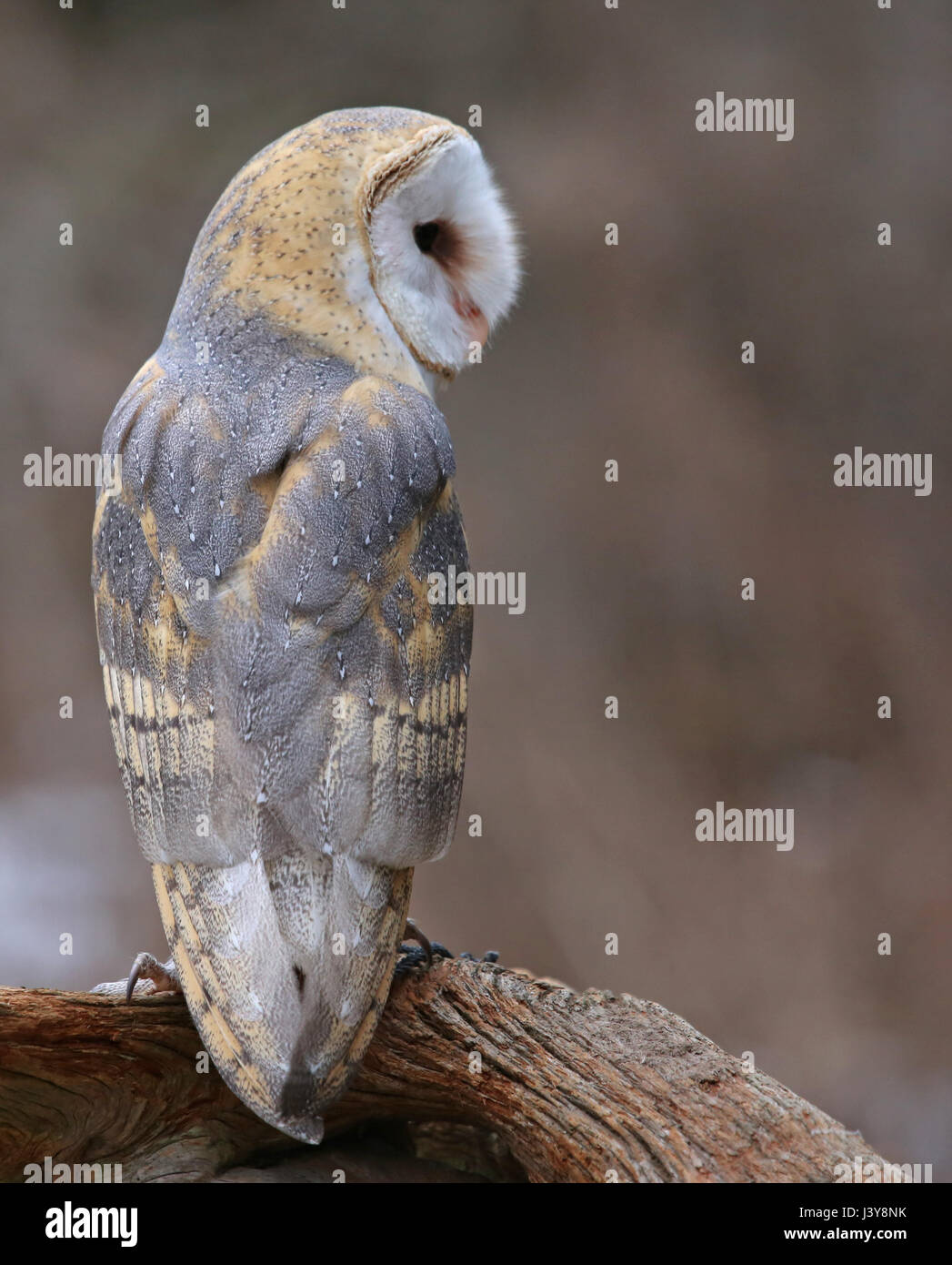 A close-up of the back of a Barn Owl (Tyto alba). - Stock Image