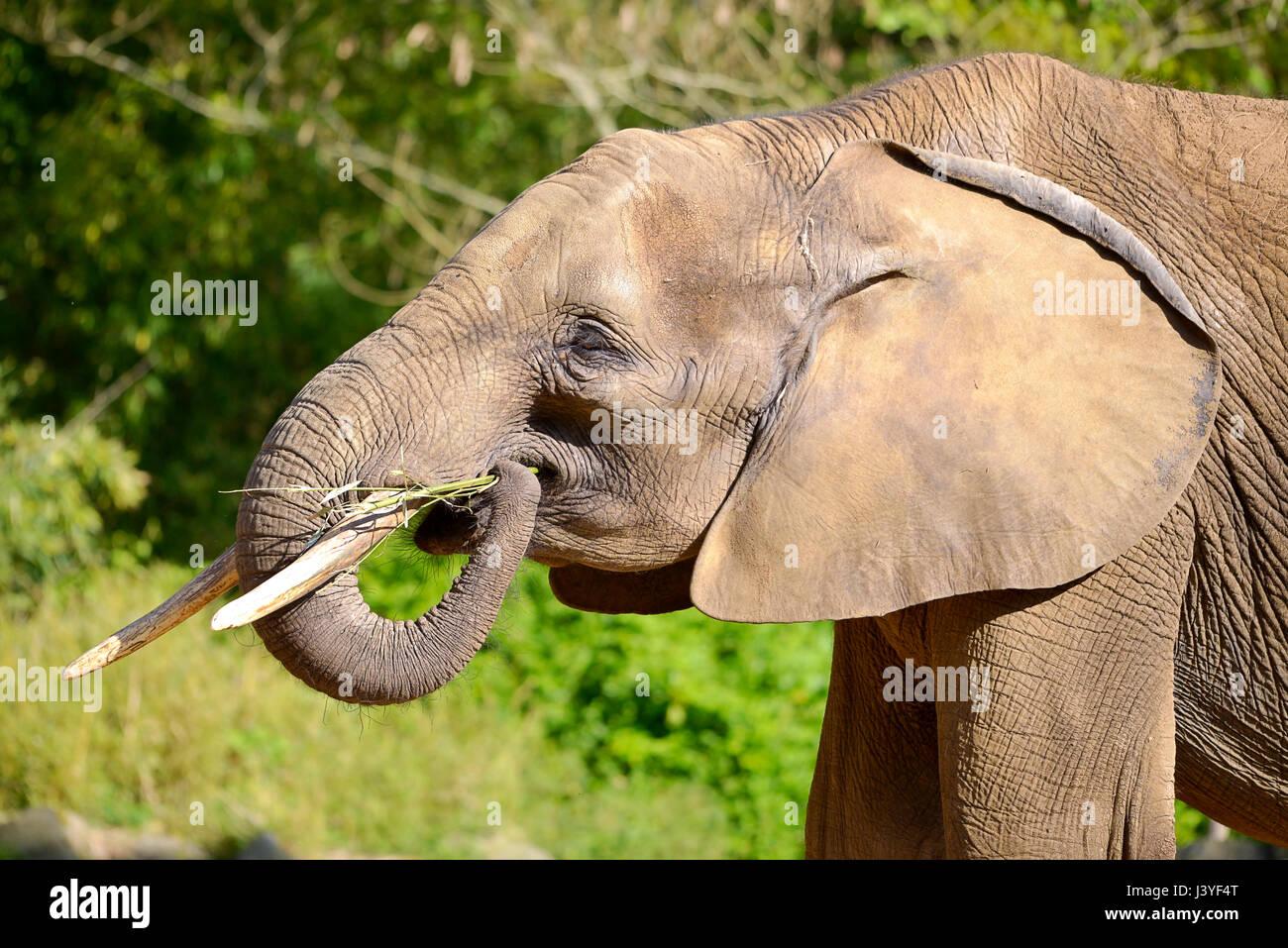 Profile portrait of African elephant (Loxondota africana) eating grass - Stock Image