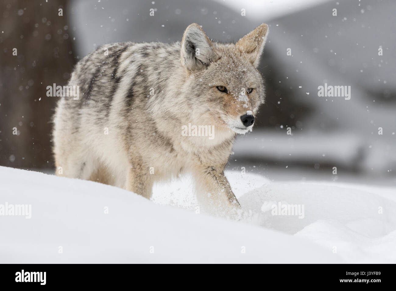 Coyote ( Canis latrans ), adult in winter, walking, running through deep snow, cunning, shifty, angry glimpse, watching - Stock Image