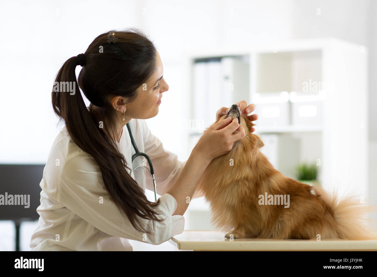 Female veterinarian examining teeth of dog in clinic - Stock Image