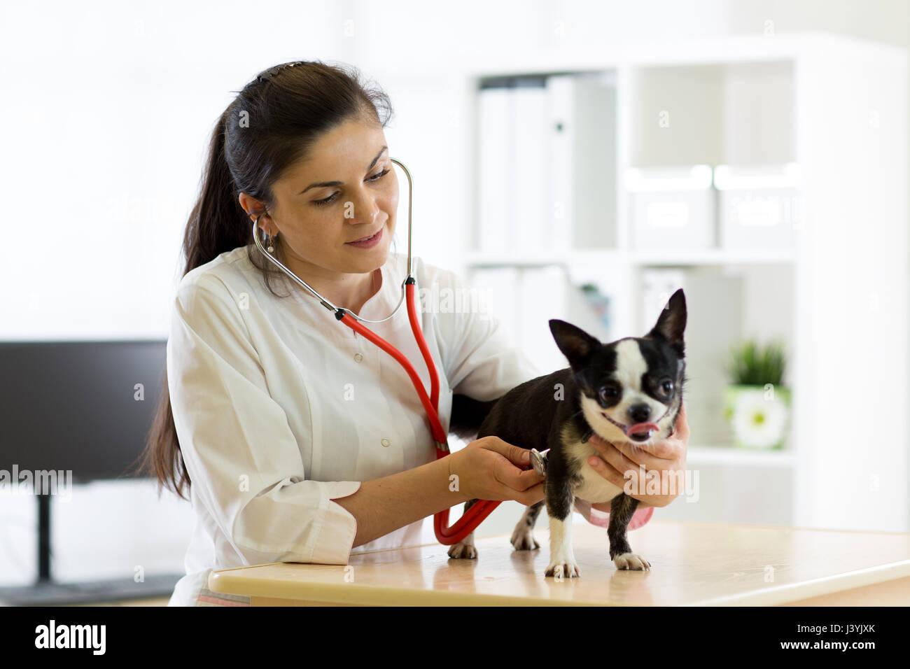 Veterinarian doctor and Chihuahua dog at vet ambulance - Stock Image