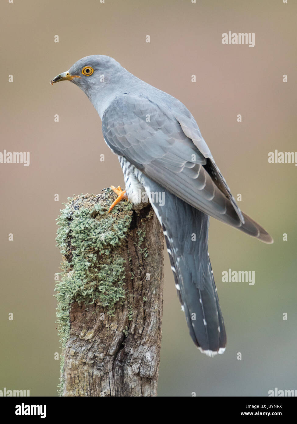 Male Cuckoo (Cuculus canorus) perched on a branch in the Brecon Beacons, Wales, UK - Stock Image