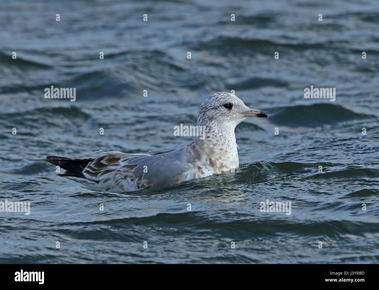 Kamchatka Gull (Larus canus camtschatchensis) first winter swimming in the sea  Choshi; Chiba Prefecture, Japan - Stock Image