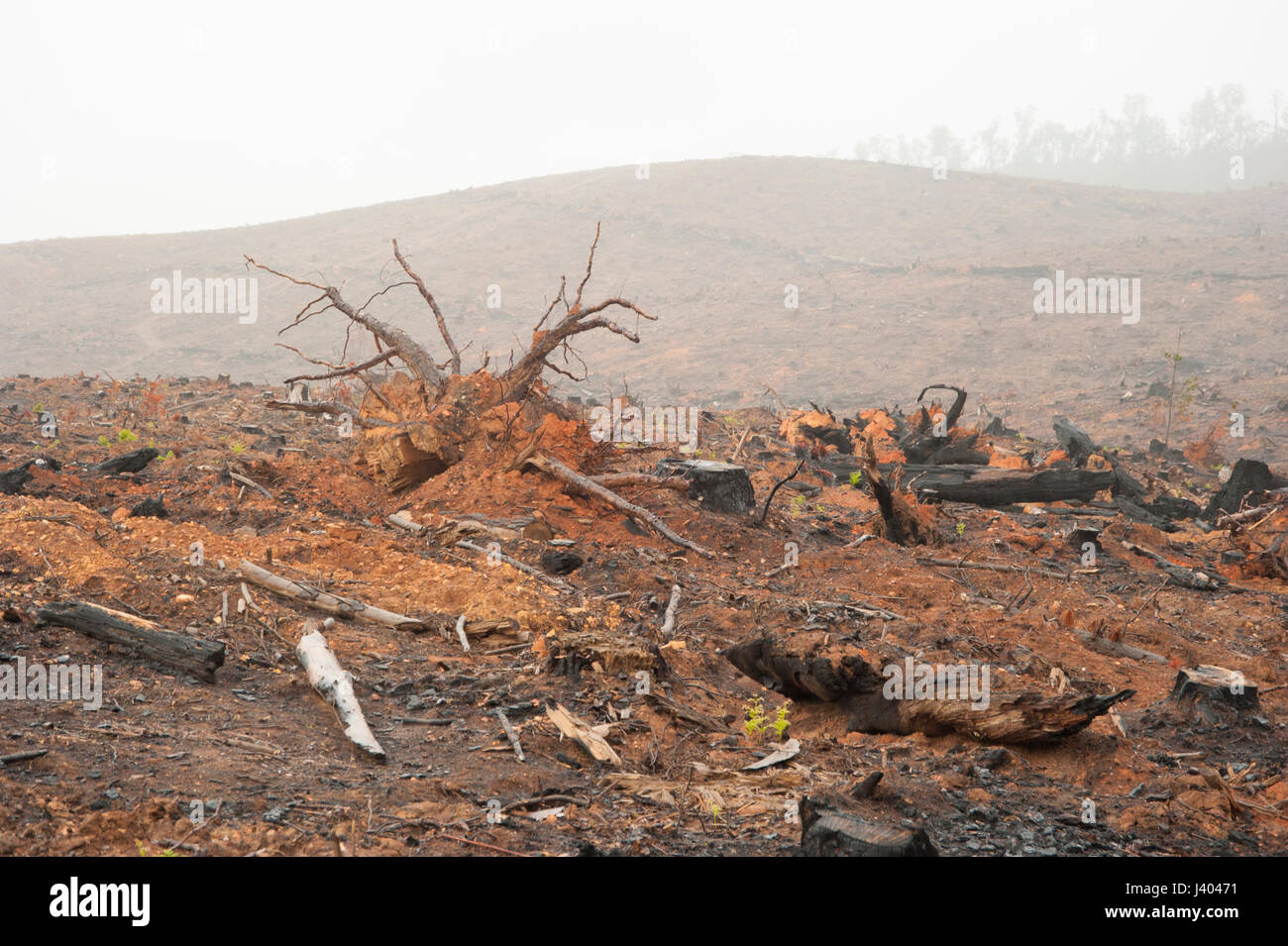 This forest was cut down by heavy machinery for the wood and timber industries. It was then burnt and left as bare - Stock Image