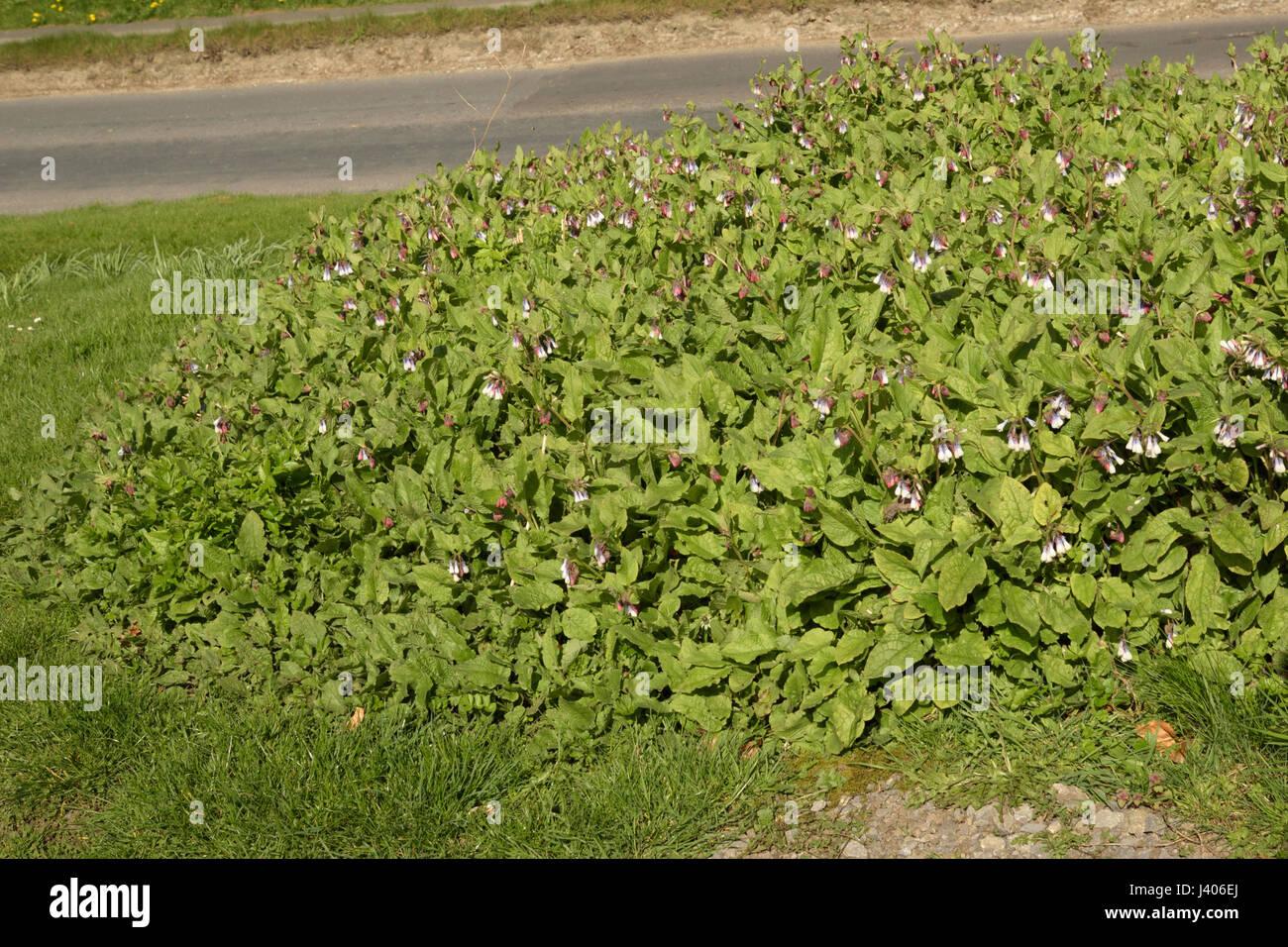 Hidcote Comfrey, Symphytum x hidcotense on a road verge - Stock Image