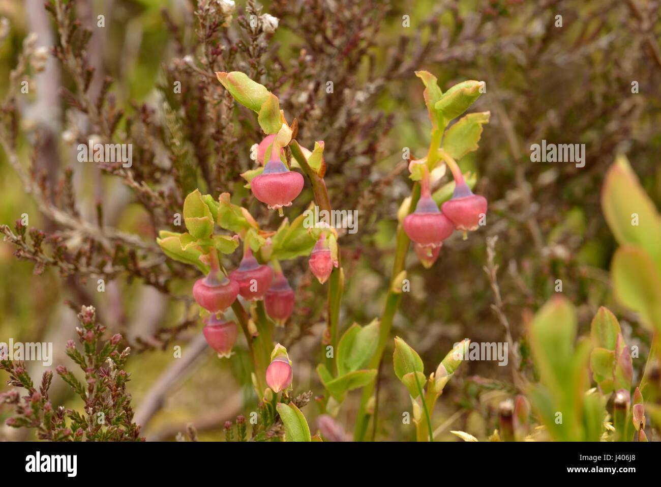 Bilberry, Vaccinium myrtillus - Stock Image