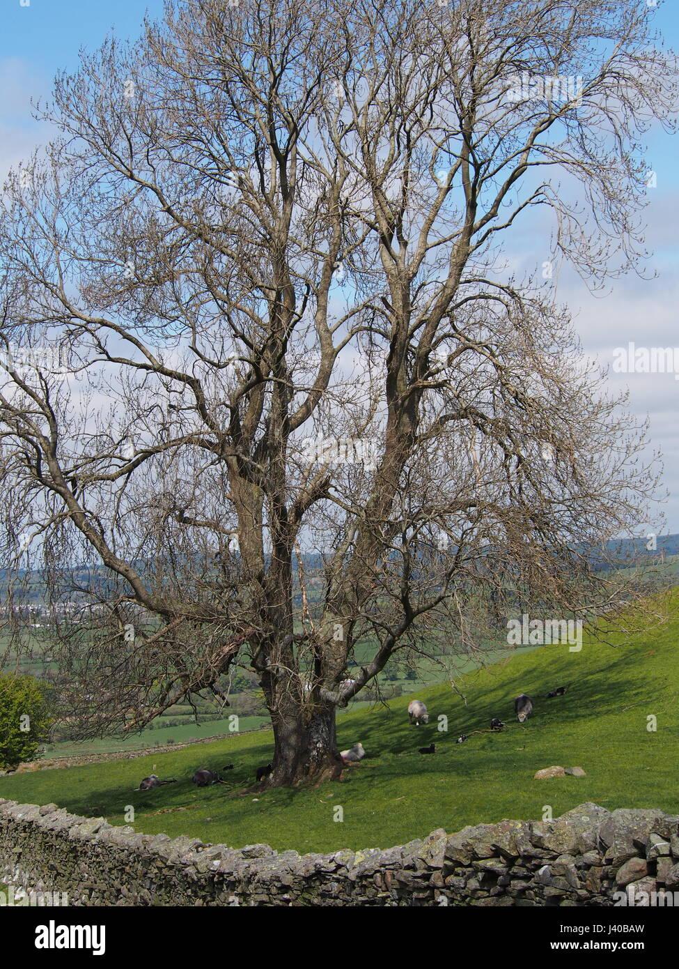 Ash Tree in Pasture, above Lorton Cumbria - Stock Image