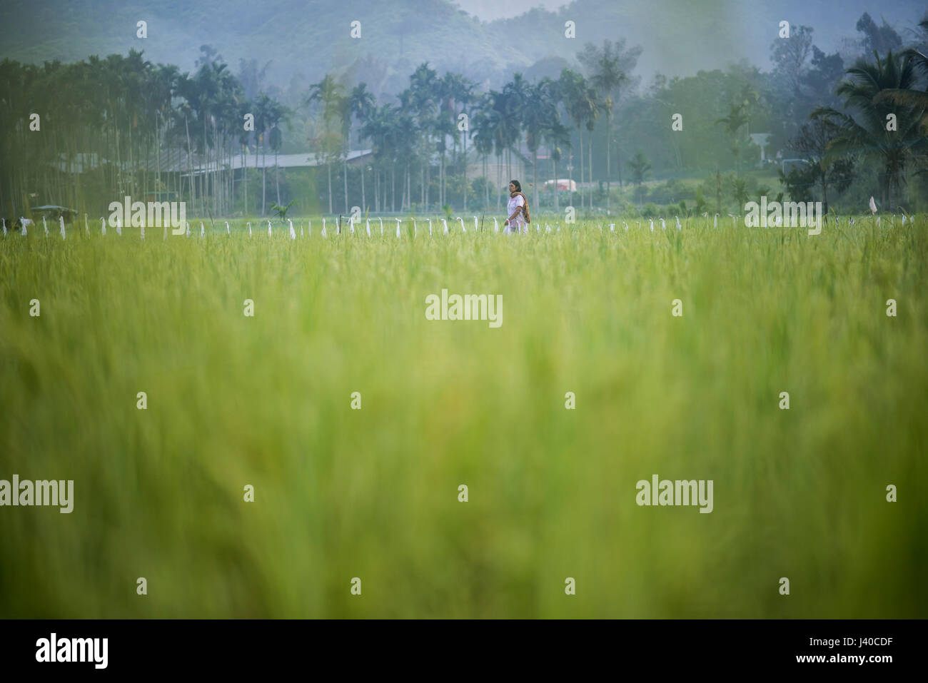A woman walk across a rice field in the Harau Valley, Sumatra, Indonesia. - Stock Image