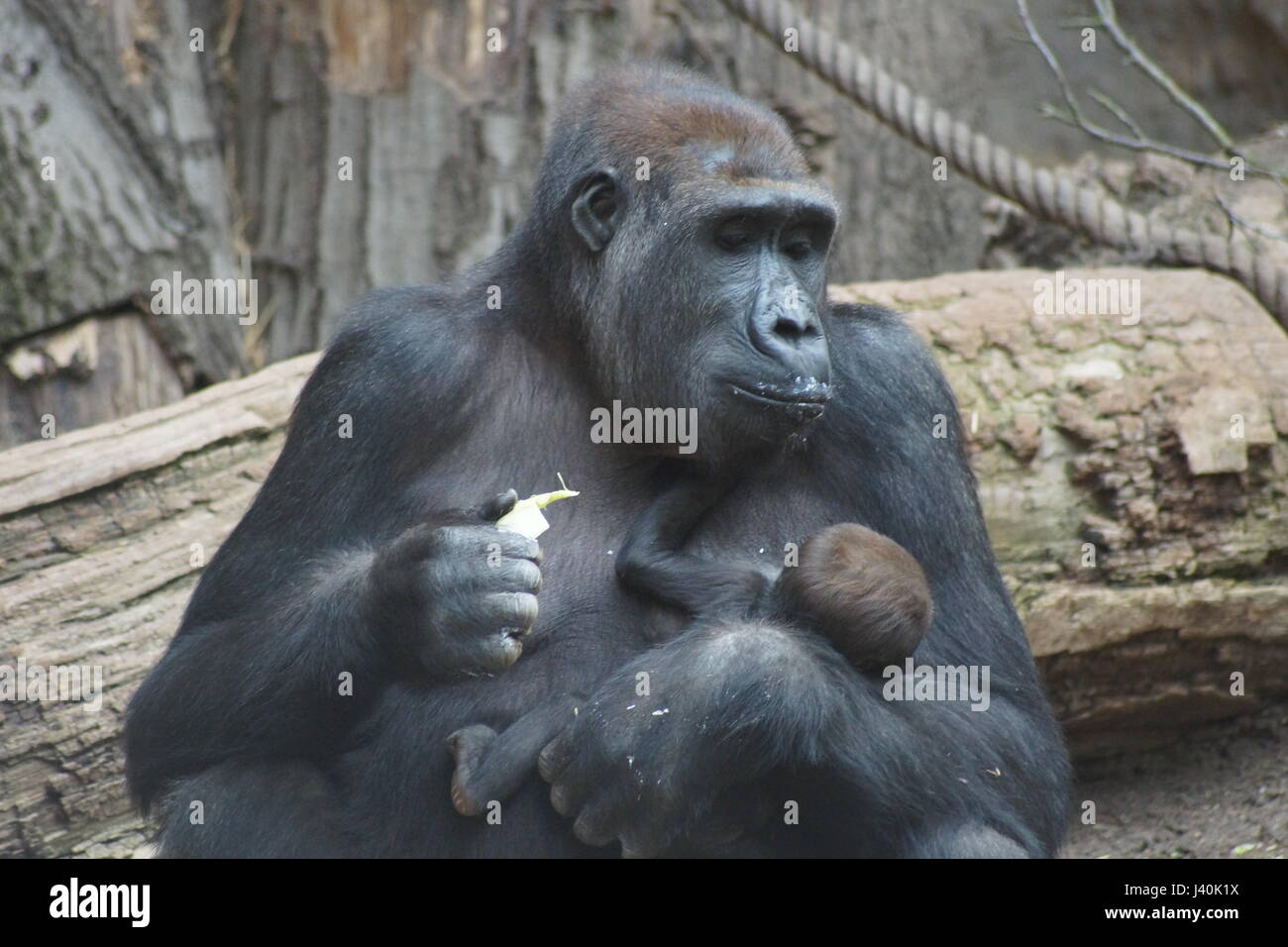 Guerilla with baby - Stock Image