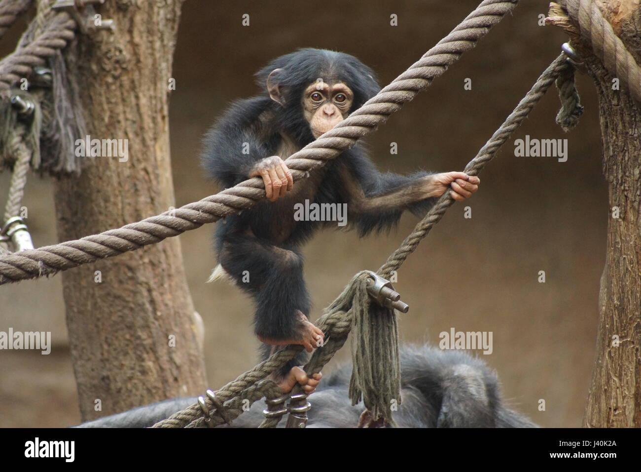 Little chimp - Stock Image