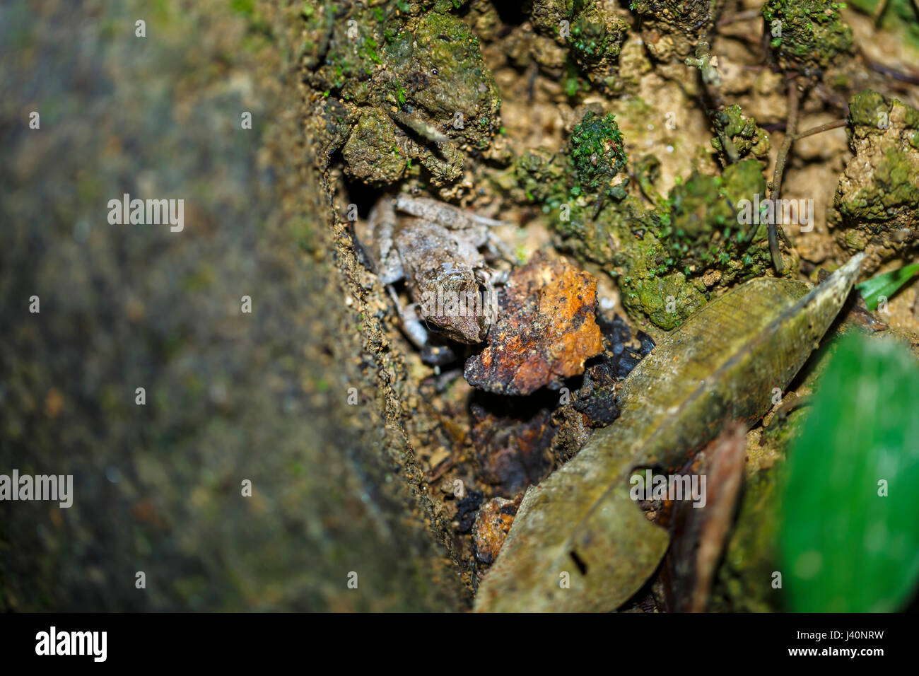 Well camouflaged frog hiding in a tree trunk, Amazonian tropical rain forest at La Selva lodge on the Napo River, - Stock Image