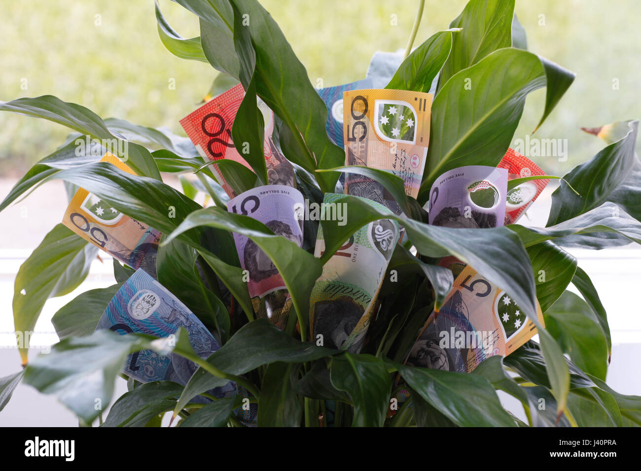 Money Plant Flower - Stock Image