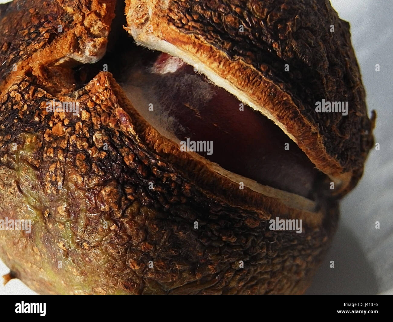 Horse Chestnut tree fruit opening with seed inside - Stock Image