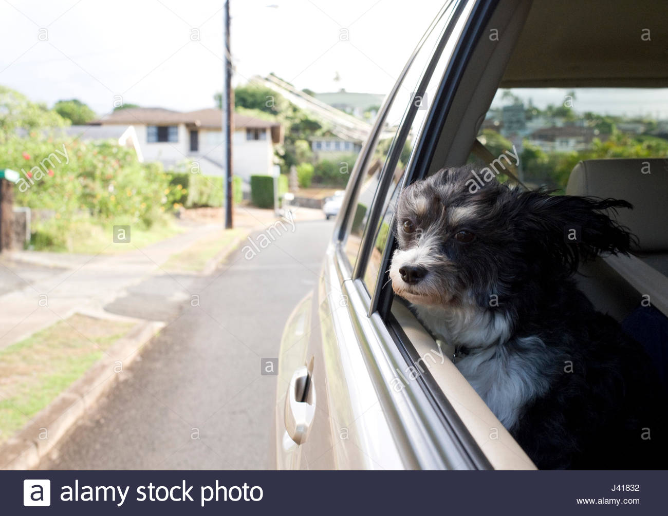 Small pet dog with head out of an automobile window - Stock Image