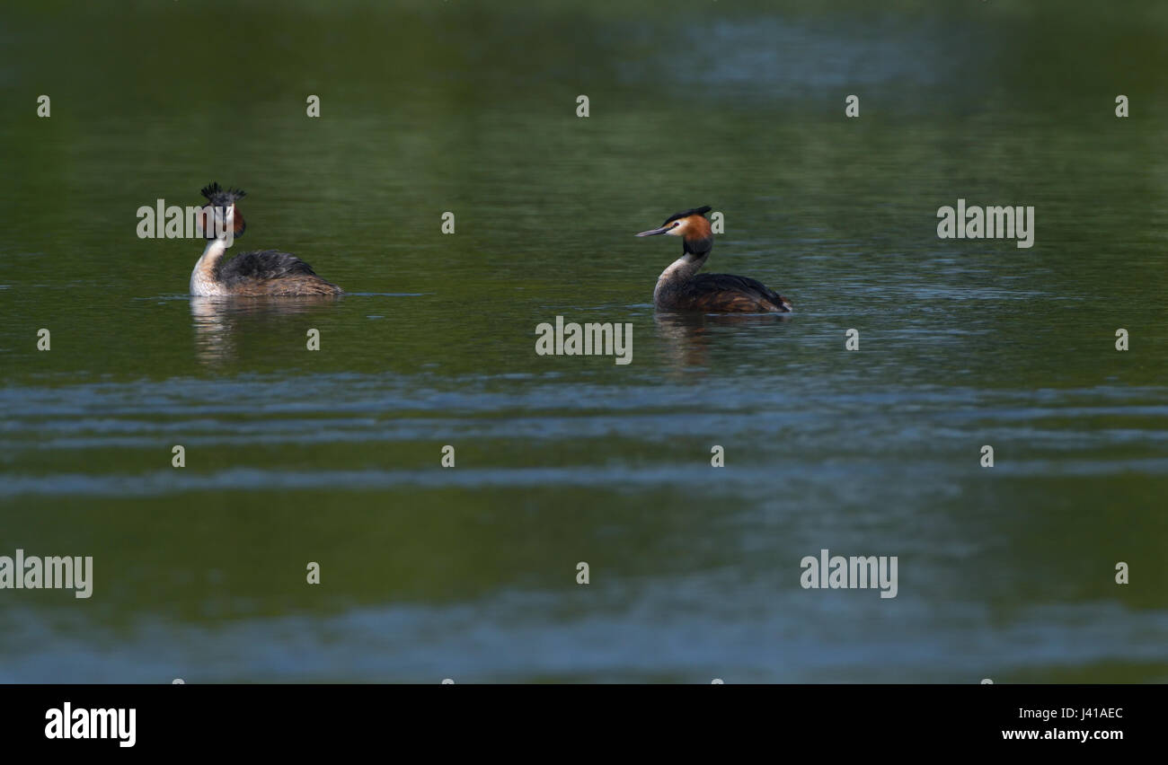 Pair of Great Crested Grebes swimming in the waters of a small lake in the Northern part of the Netherlands. - Stock Image