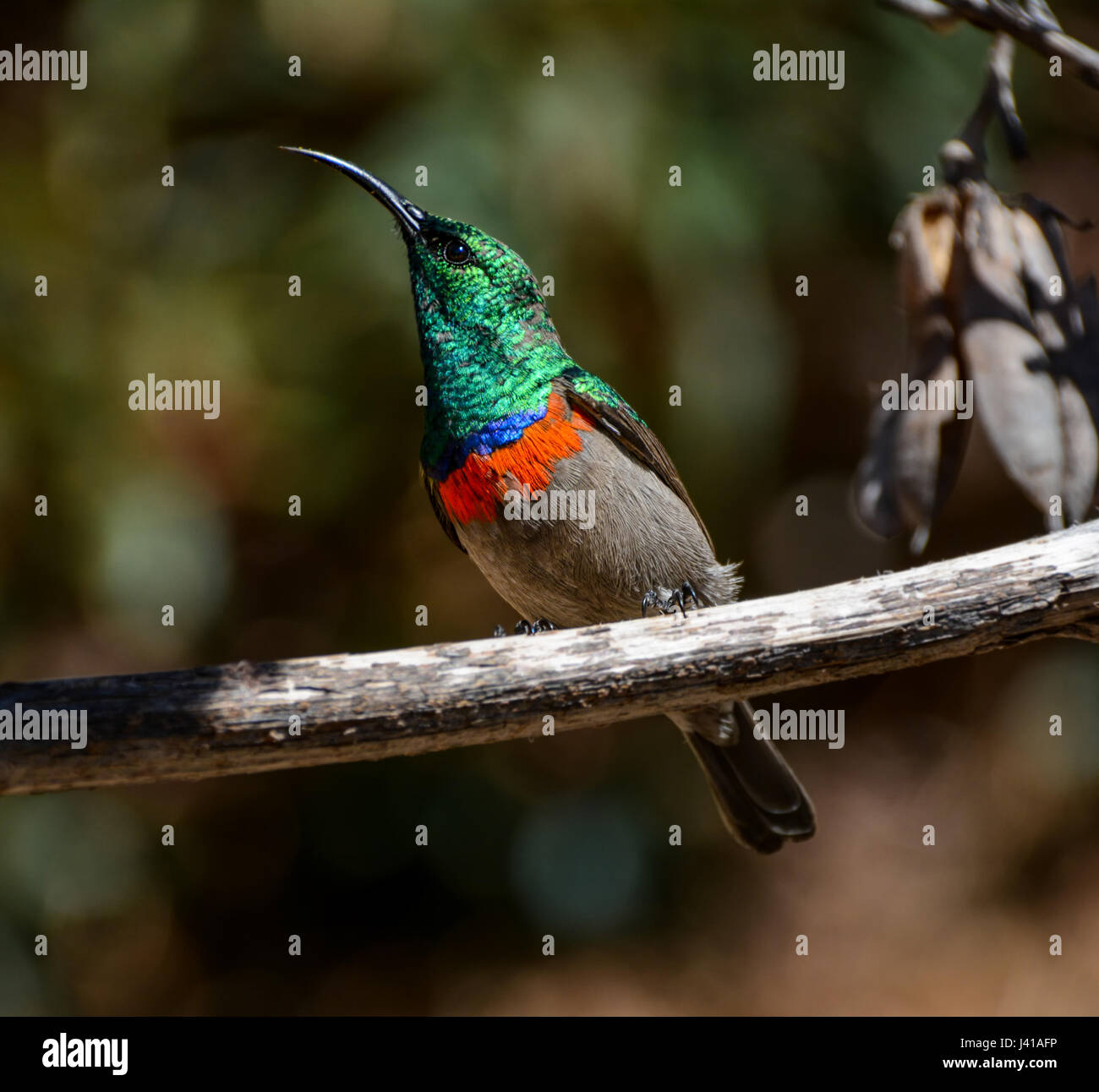 Male Double-collared Sunbird perched on a tree in Southern Africa - Stock Image