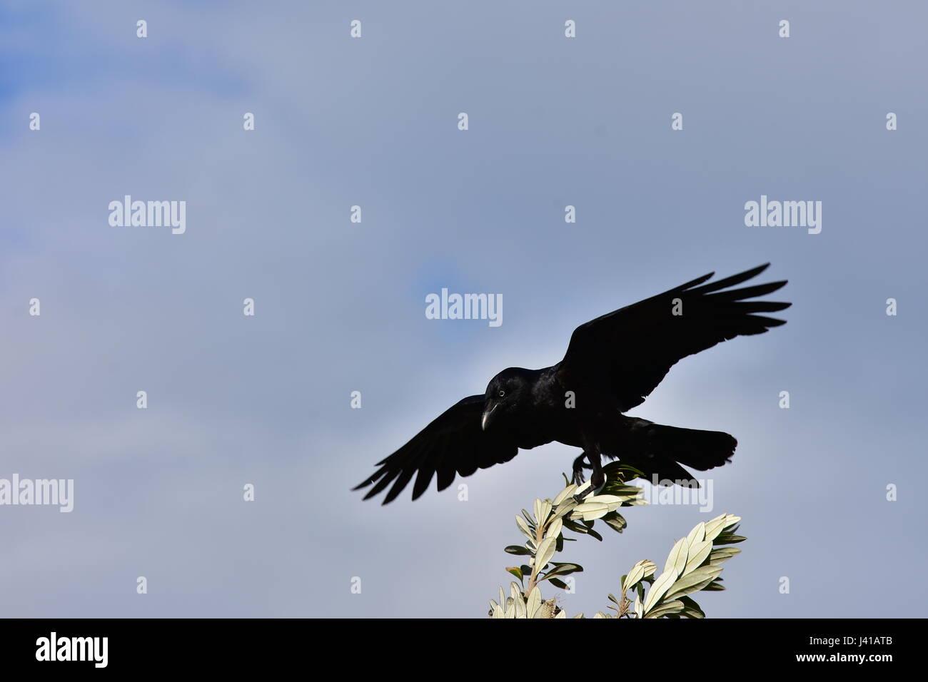 Australian raven Corvus coronoides on thin tree branch ready to take off. - Stock Image