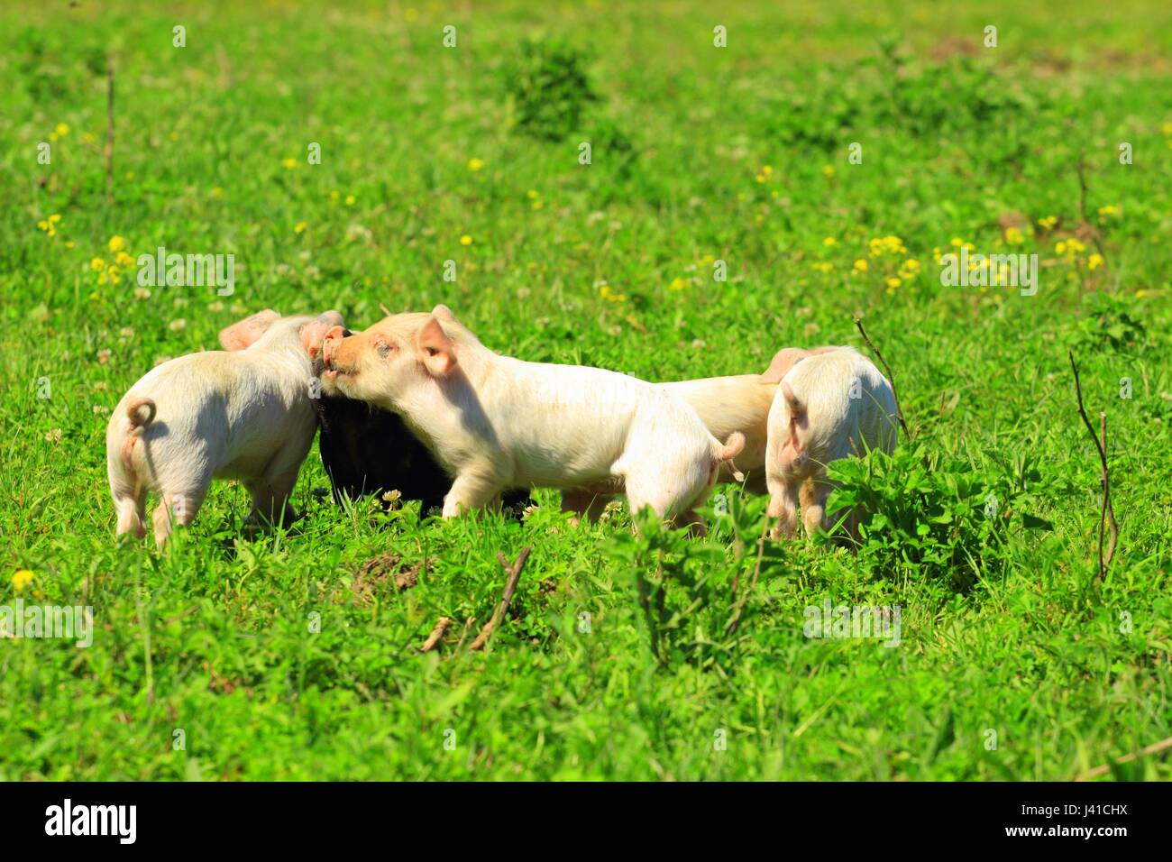 Piglets in game on the meadow - Stock Image